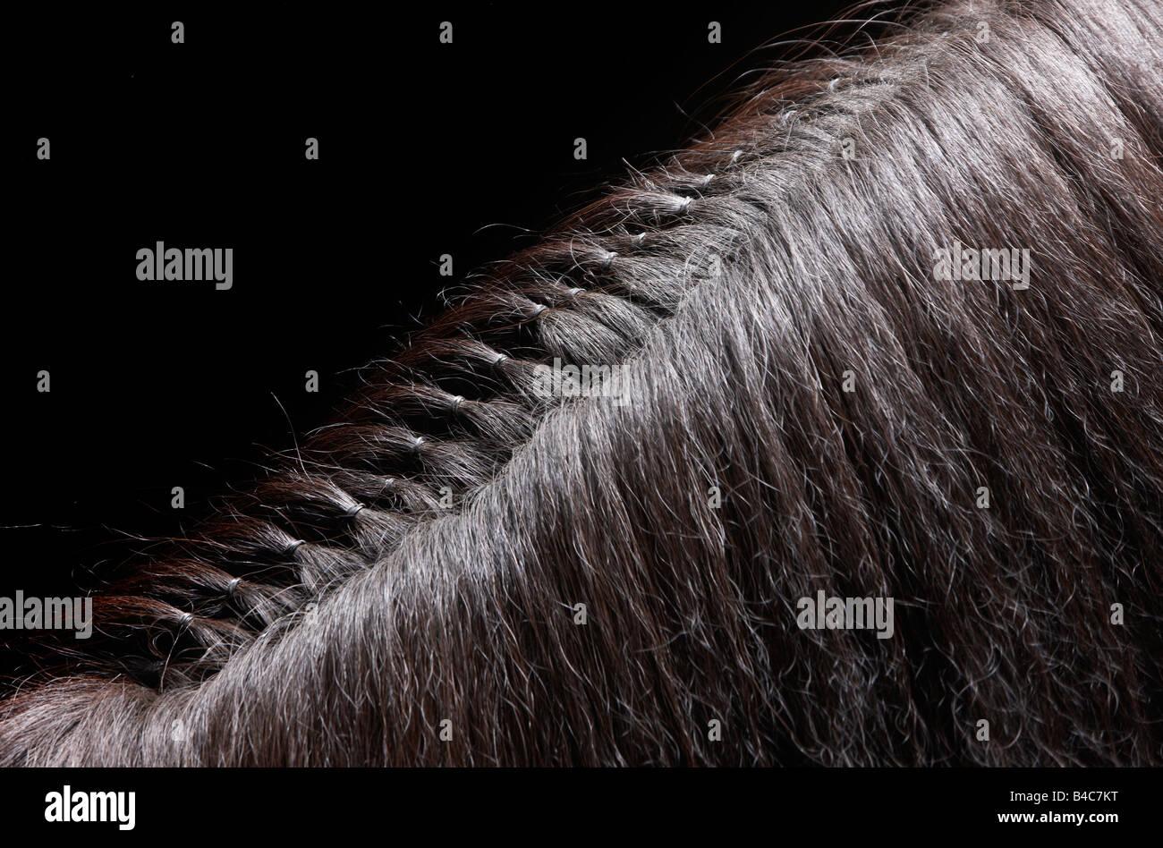 Braided Hair on Mane of  Pure Breed Icelandic Stallion, Iceland - Stock Image