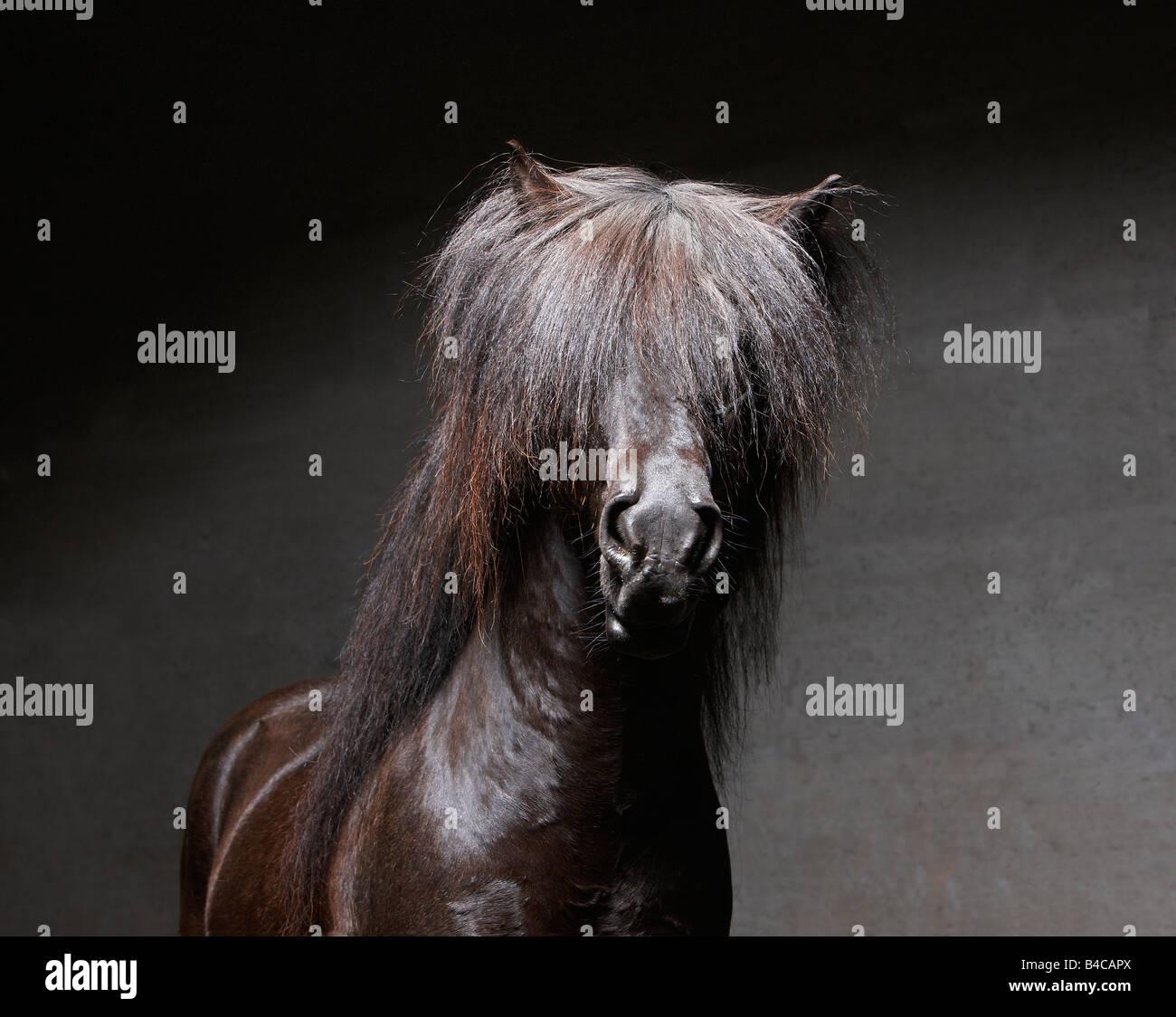 Pure Breed Icelandic Stallion, Iceland - Stock Image