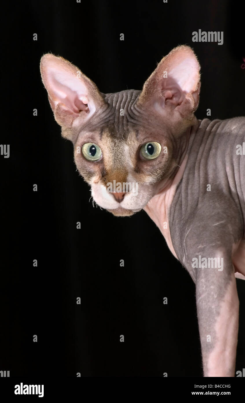 Surprised looking hairless cat. - Stock Image