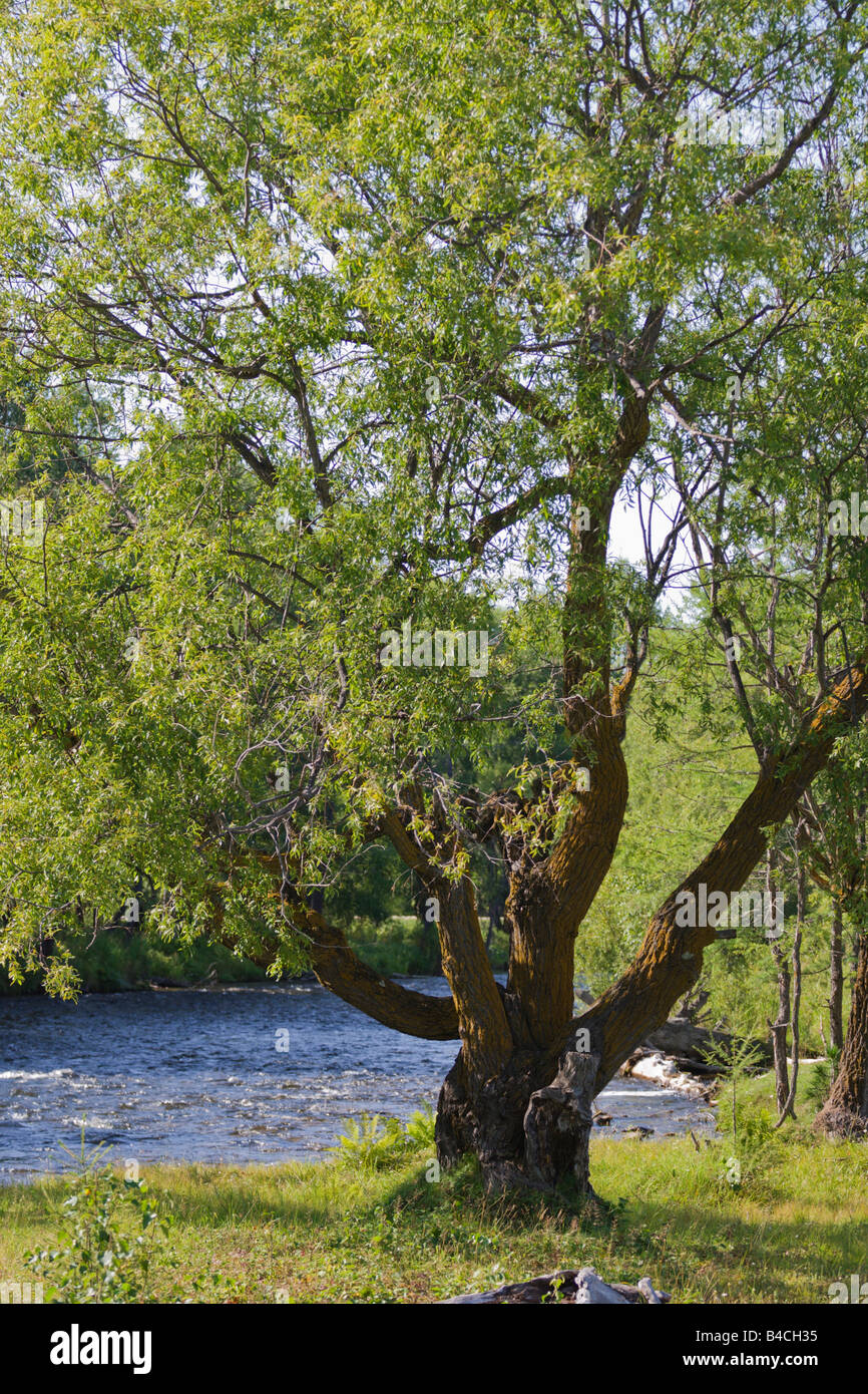 mighty willow tree - Stock Image