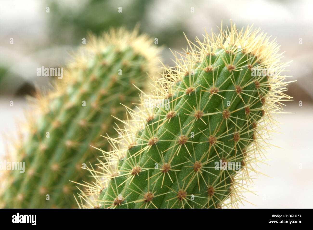 small cactus closeup with dof background nature and plants - Stock Image