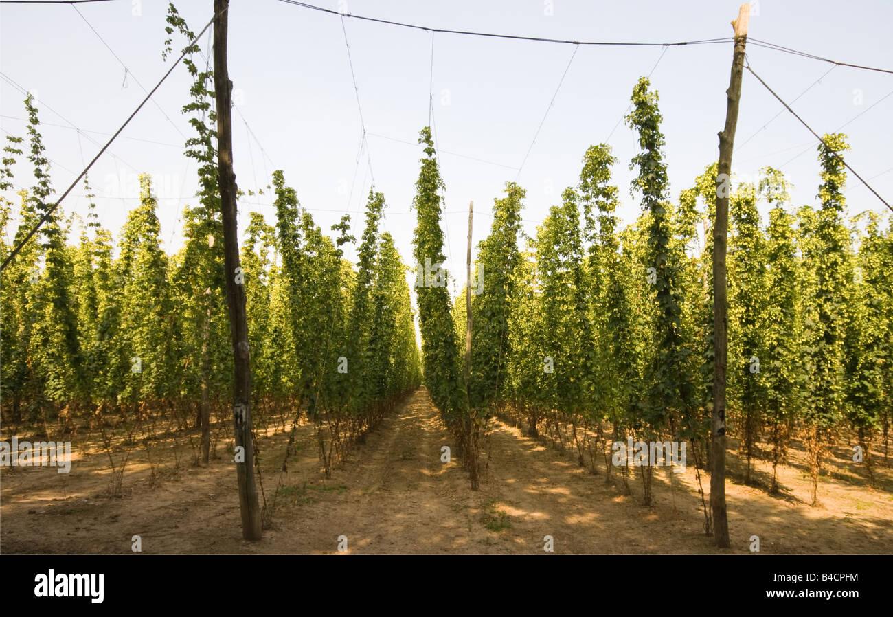 Hop Garden - Stock Image