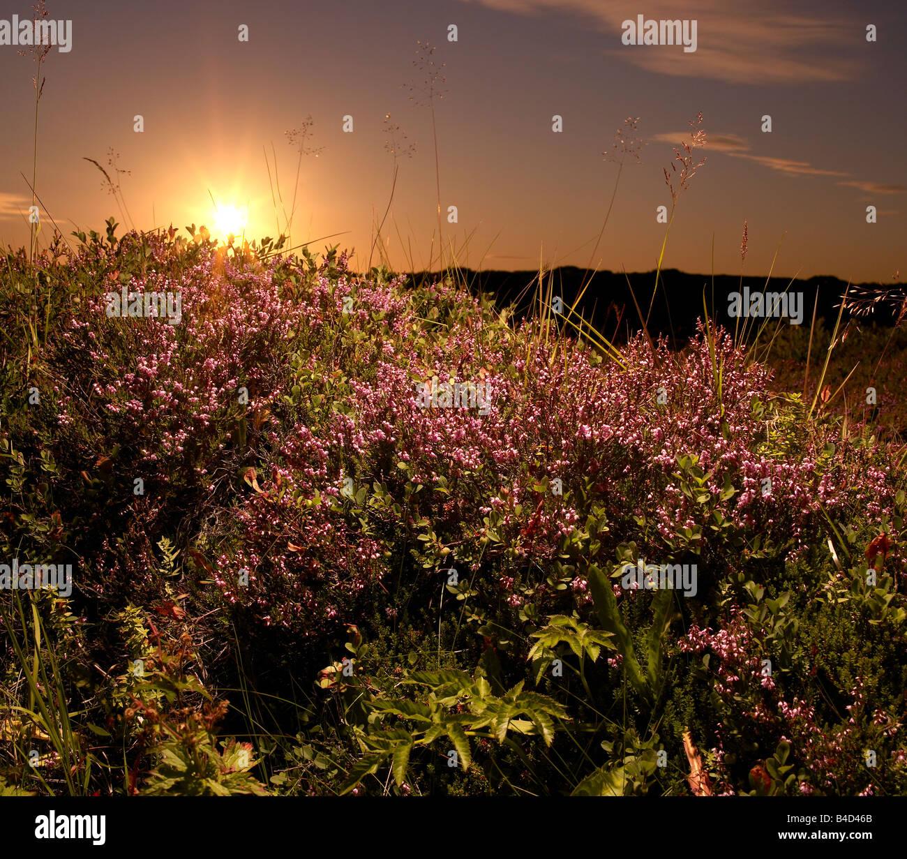 Midnight Sunset with wild flowers growing over Lava,  Reykjanes Peninsula, Iceland - Stock Image
