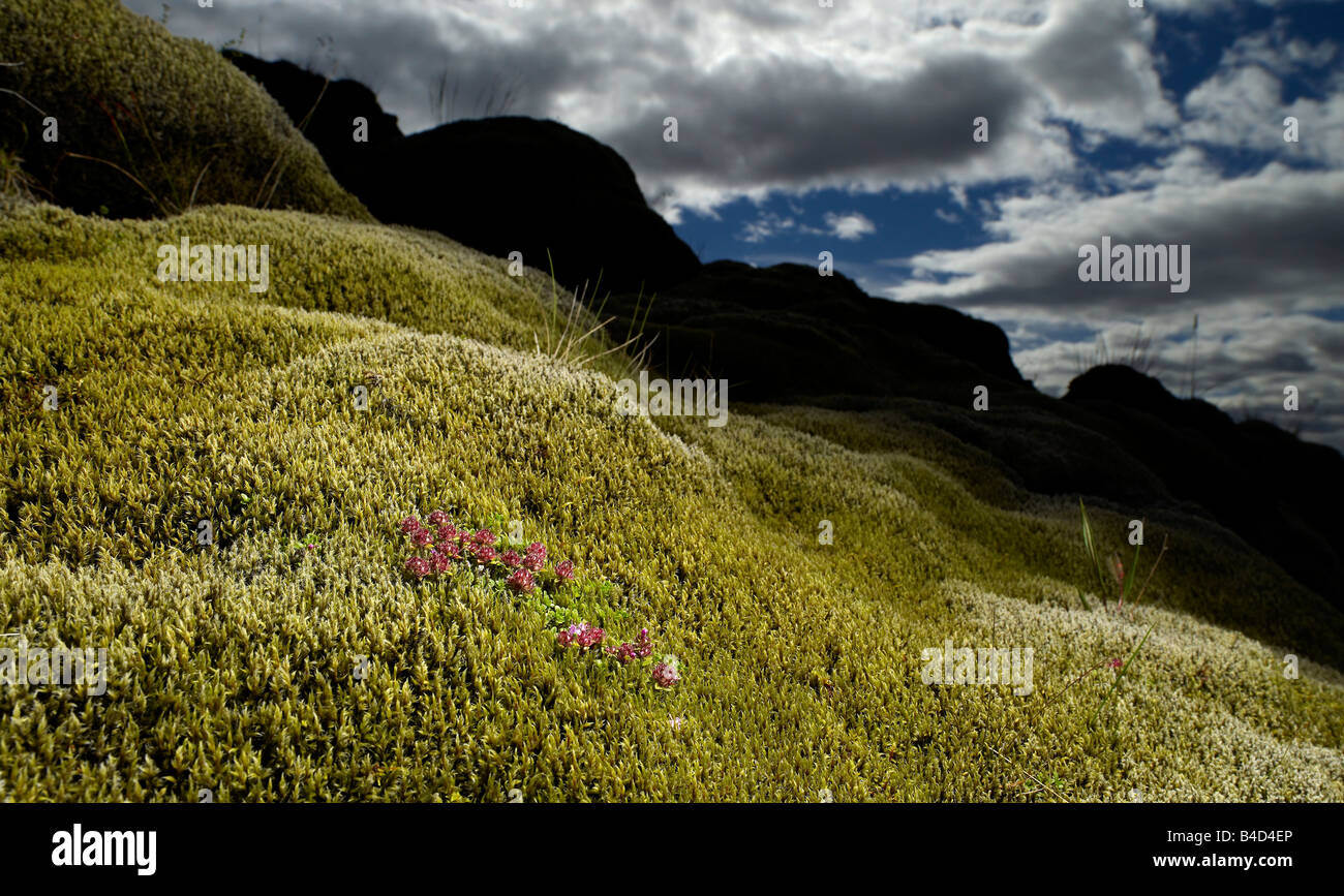 Moss covered lava with flowers growing, South Coast Iceland - Stock Image