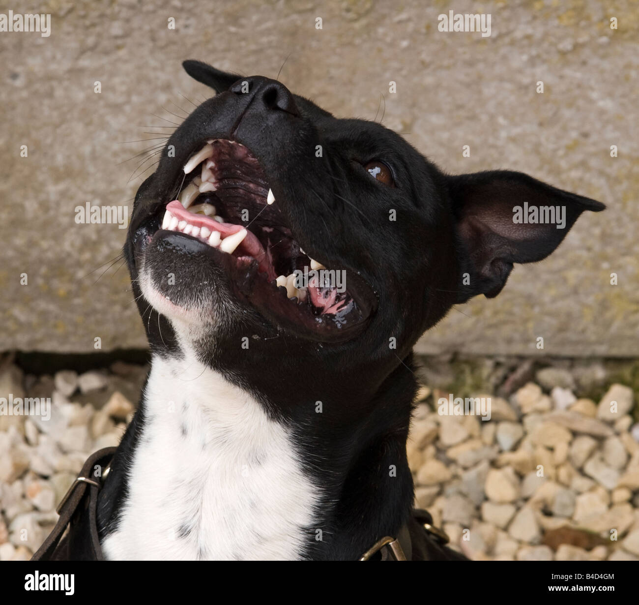 Staffordshire, Bull, Terrier, dog, staff, pitbull 2 - Stock Image