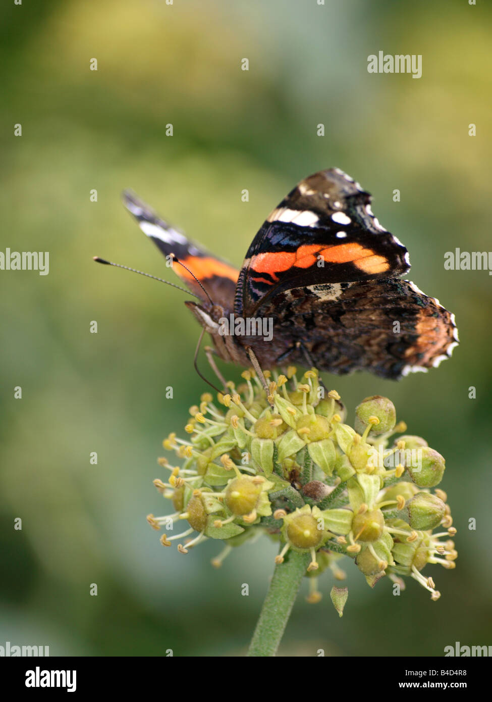Red Admiral butterfly, Vanessa atalanta Stock Photo