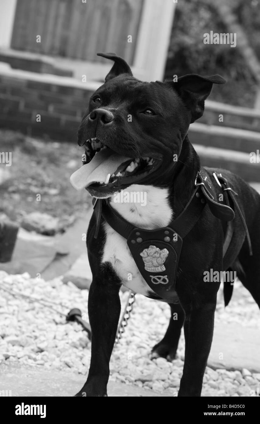 staffordshire bull terrier, dog, staff, staffy, - Stock Image