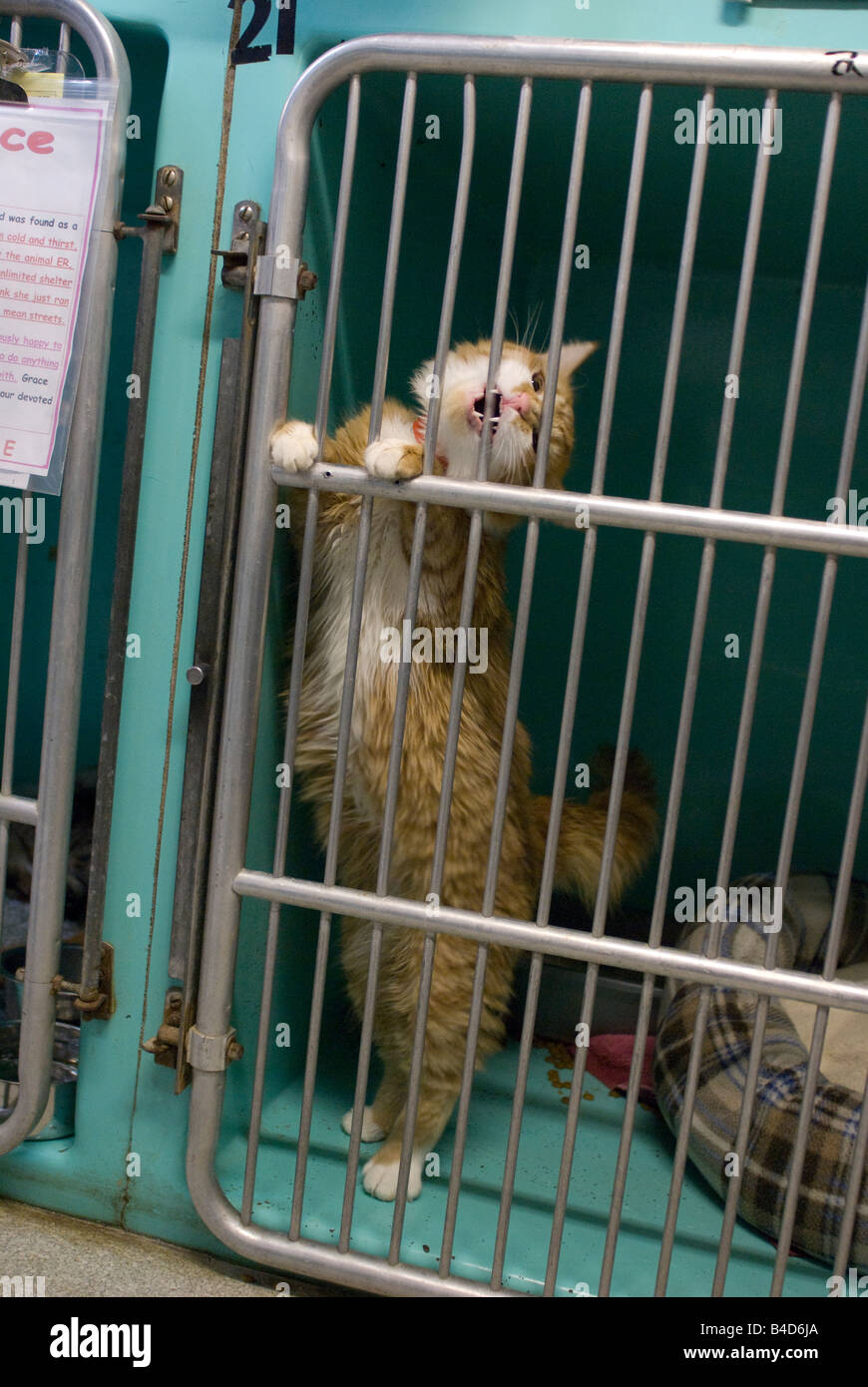 A cat distressed at being locked in a cage attempts to chew
