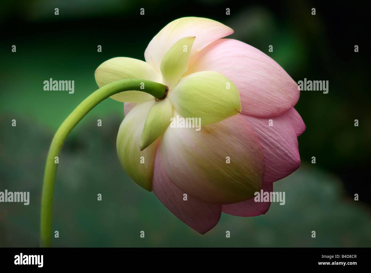 Lotus Form Stock Photos Lotus Form Stock Images Alamy