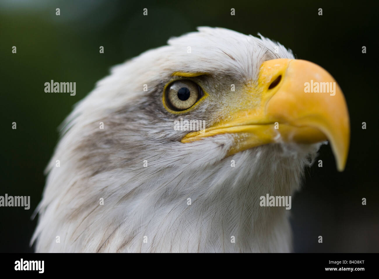 Portrait of adult Bald Eagle (Haliaeetus leucogaster) Stock Photo