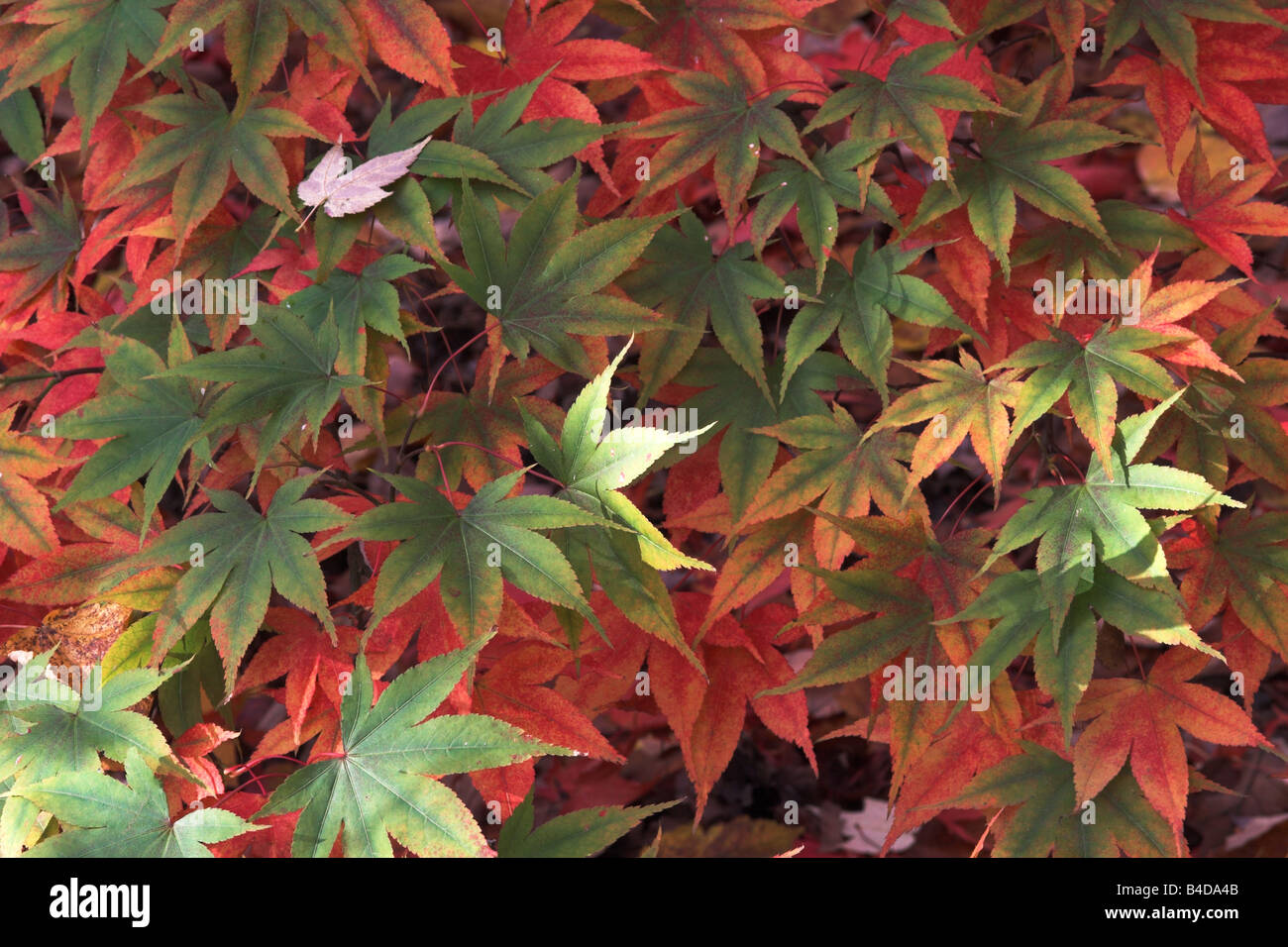 Close up of red and green Japanese Acer Palmatum Leaves - Autumn at Westonbirt Arboretum Stock Photo