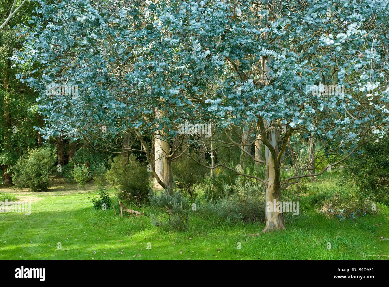 Eucalyptus Tree's blue leaves - Stock Image