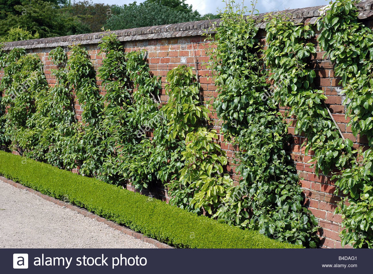 Cordon Trained Fruit Trees Against A Sheltered Wall Stock Photo