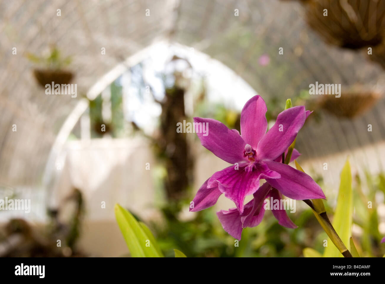 Close up of orchid Miltonia Spectabilis growing in an 18th Century greenhouse in the Botanical Gardens in Valencia - Stock Image