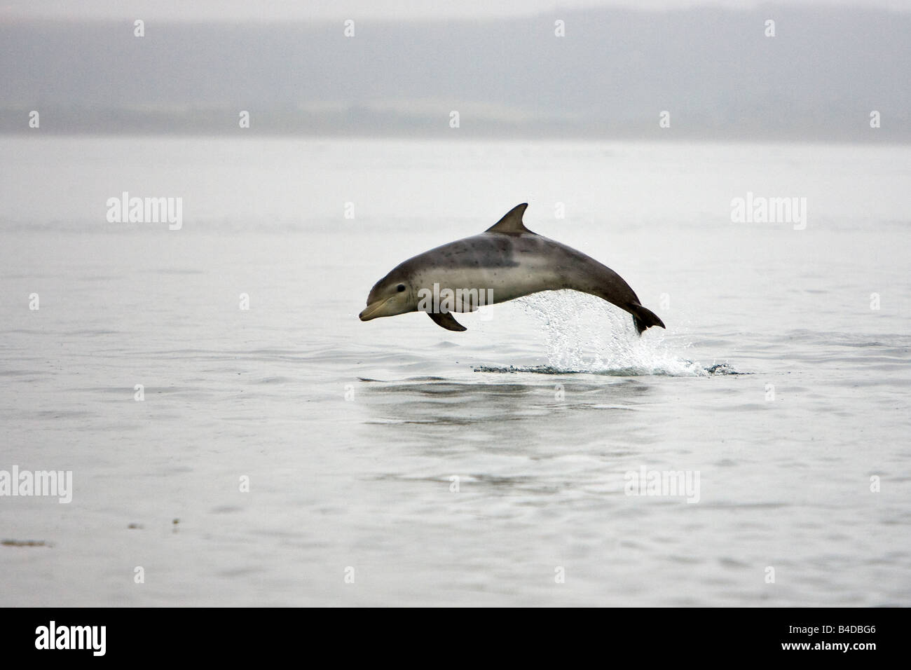 Bottlenose Dolphin Großer Tümmler Tursiops truncatus calf 'Charlie' leaping Chanonry Point Inner - Stock Image