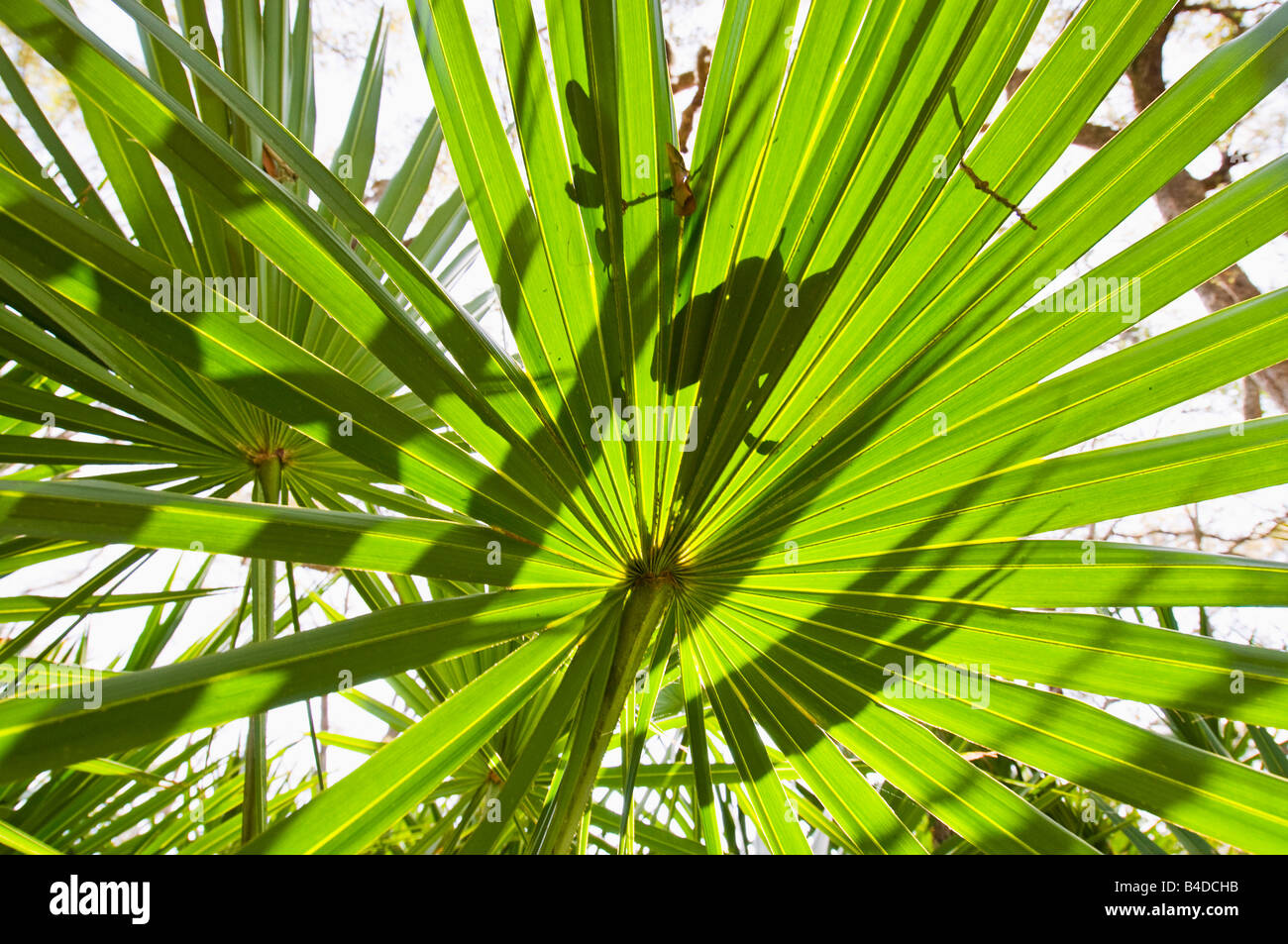 Leaves of the Serenoa repens the saw palmetto a palm like plant that grows in clumps or dense thickets in sandy Stock Photo