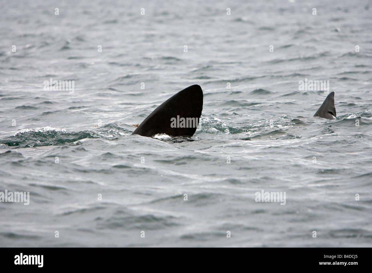 Basking Shark Riesenhai Cetorhinus maximus Gairloch Scotland - Stock Image