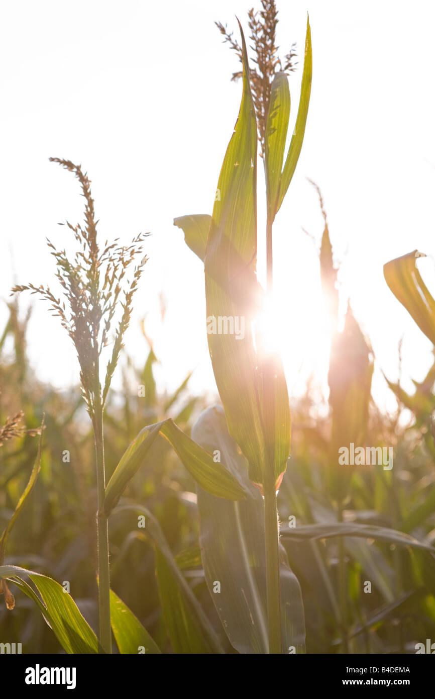 field of Maize in Germany Zea mays - Stock Image