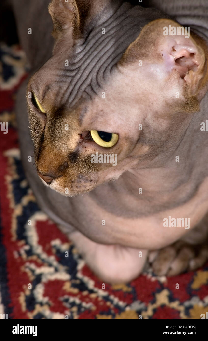 Hairless cat from above - Stock Image