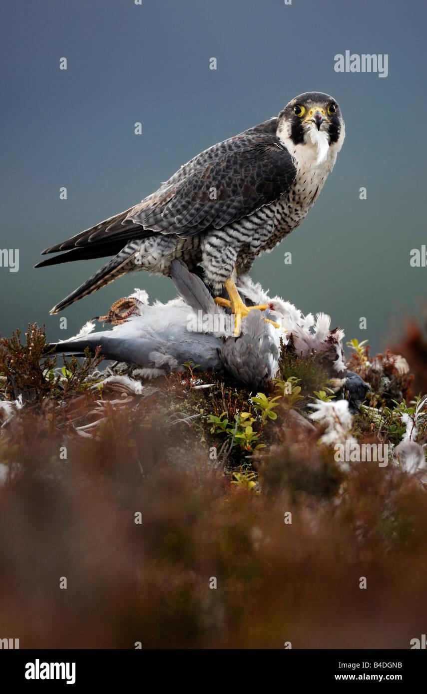 Peregrine Falcon on a kill - Stock Image
