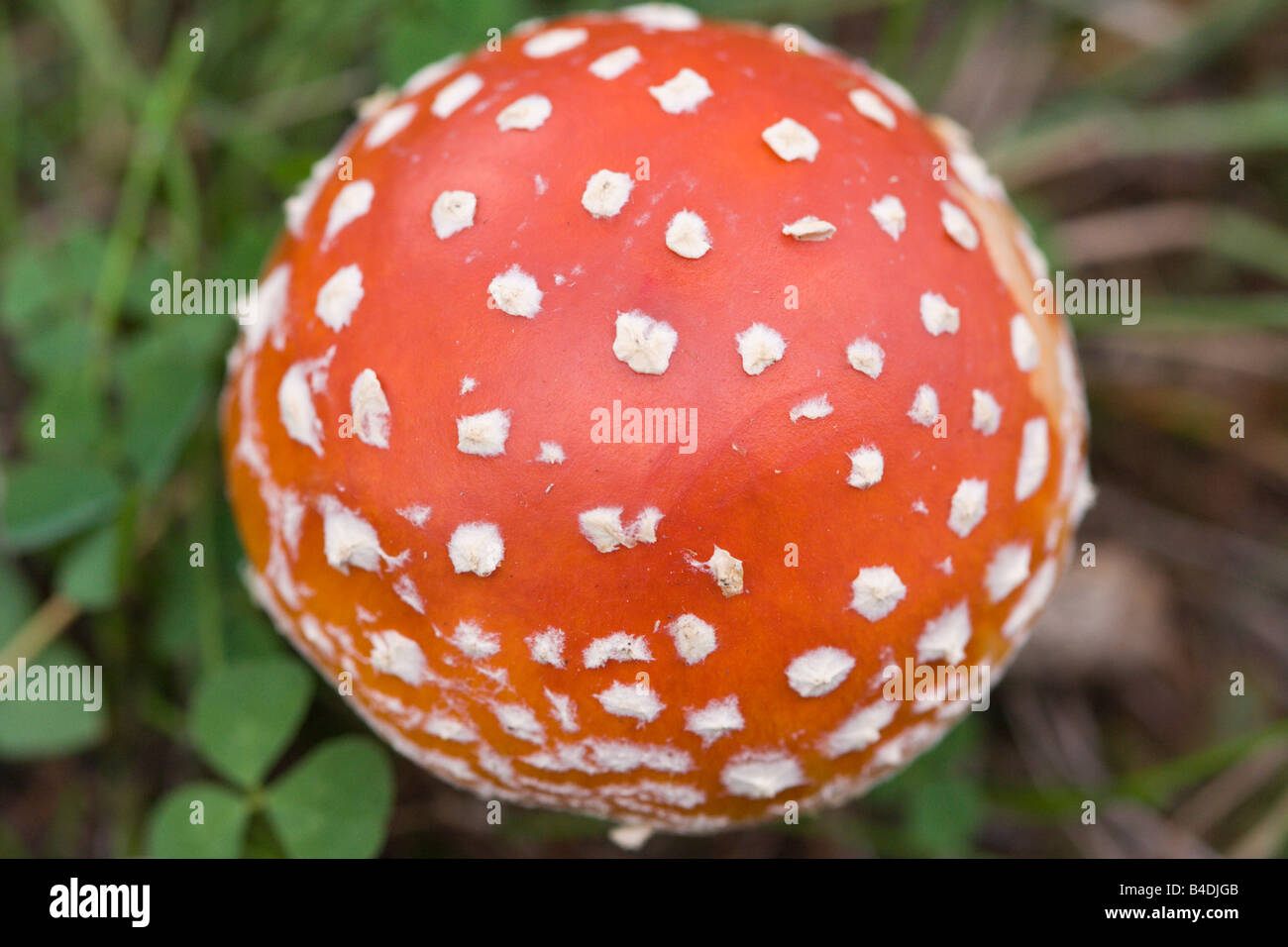Amanita Verna Stock Photos & Amanita Verna Stock Images - Alamy
