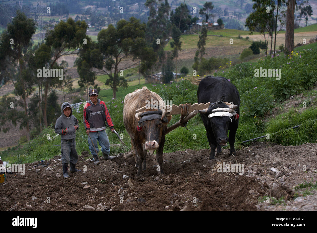 Children with Bulls farming corn, Andes Mountains, Ecuador - Stock Image