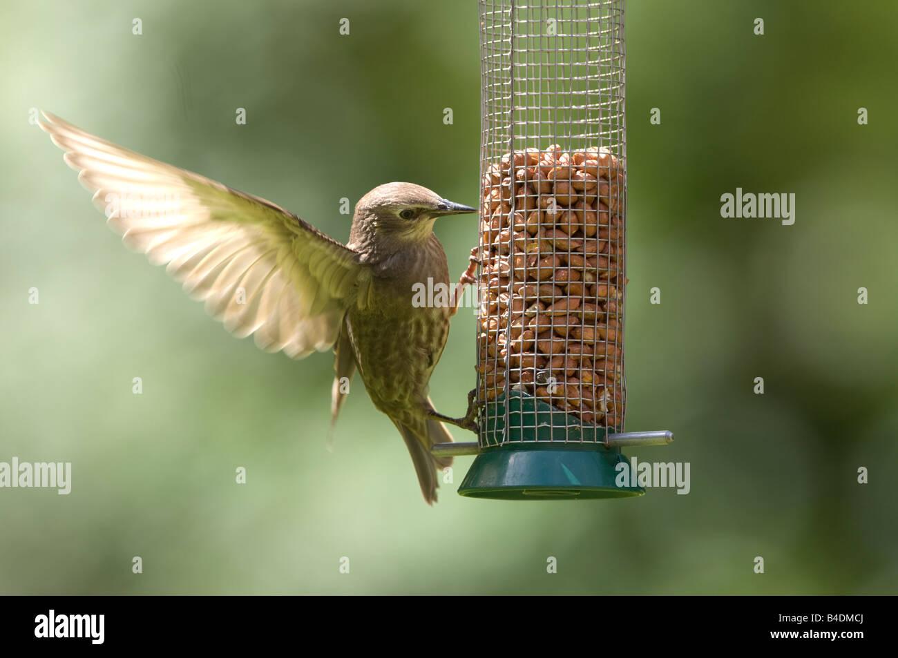 Juvenile Starling Sturnus vulgaris Surrey UK - Stock Image