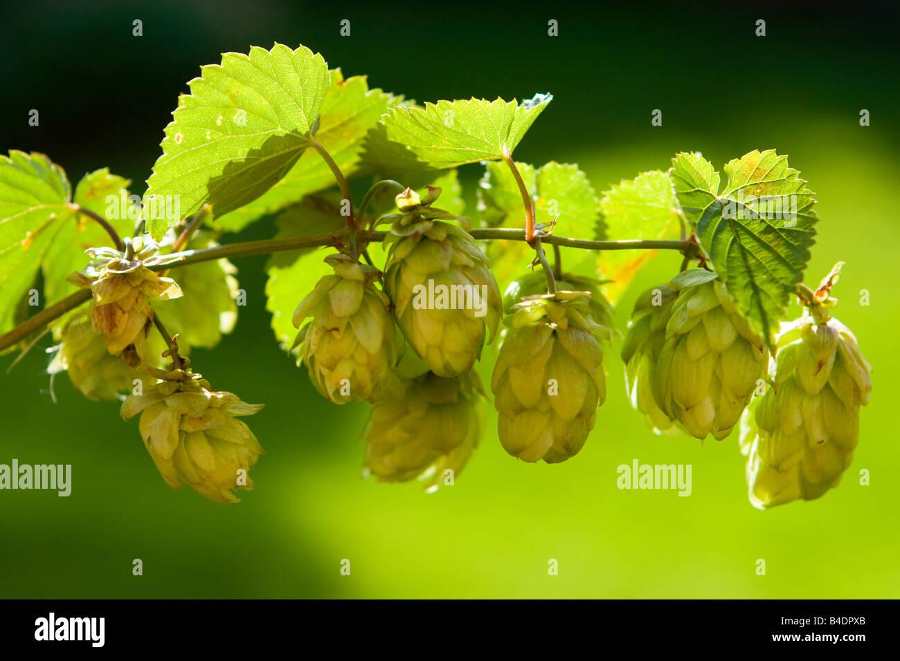 Wild Hops - Stock Image