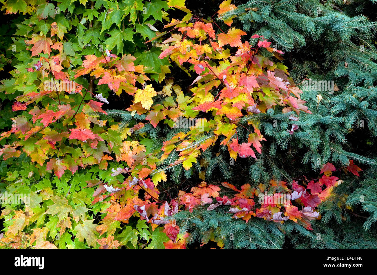 Maple Branch and Conifer, Algonquin Park in Fall Ontario Canada - Stock Image
