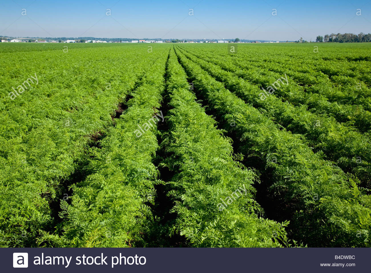 Carrots in the market gardens of Holland Marsh near Bradford Ontario Canada - Stock Image