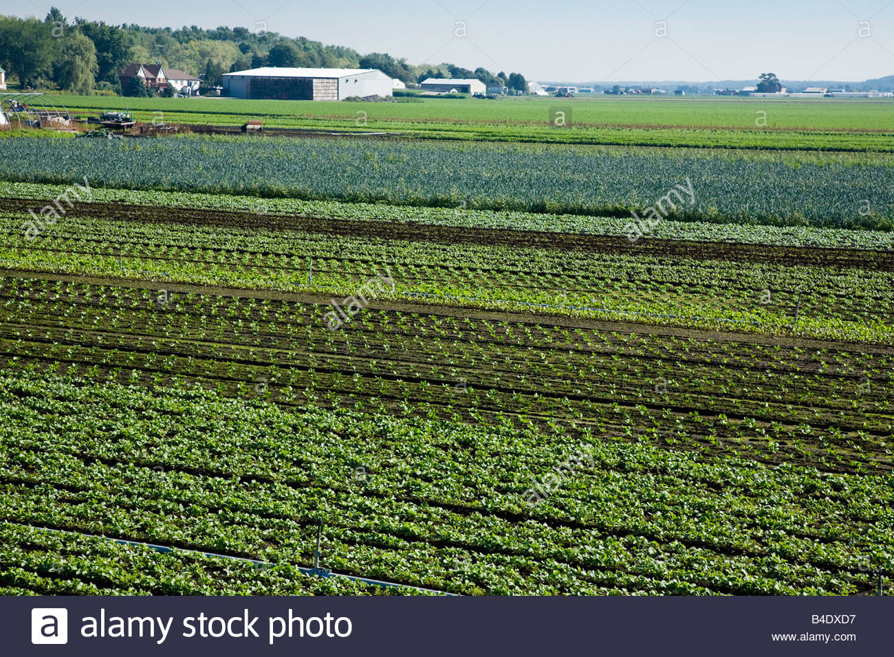 Vegetables in the market gardens of Holland Marsh near Bradford Ontario Canada - Stock Image
