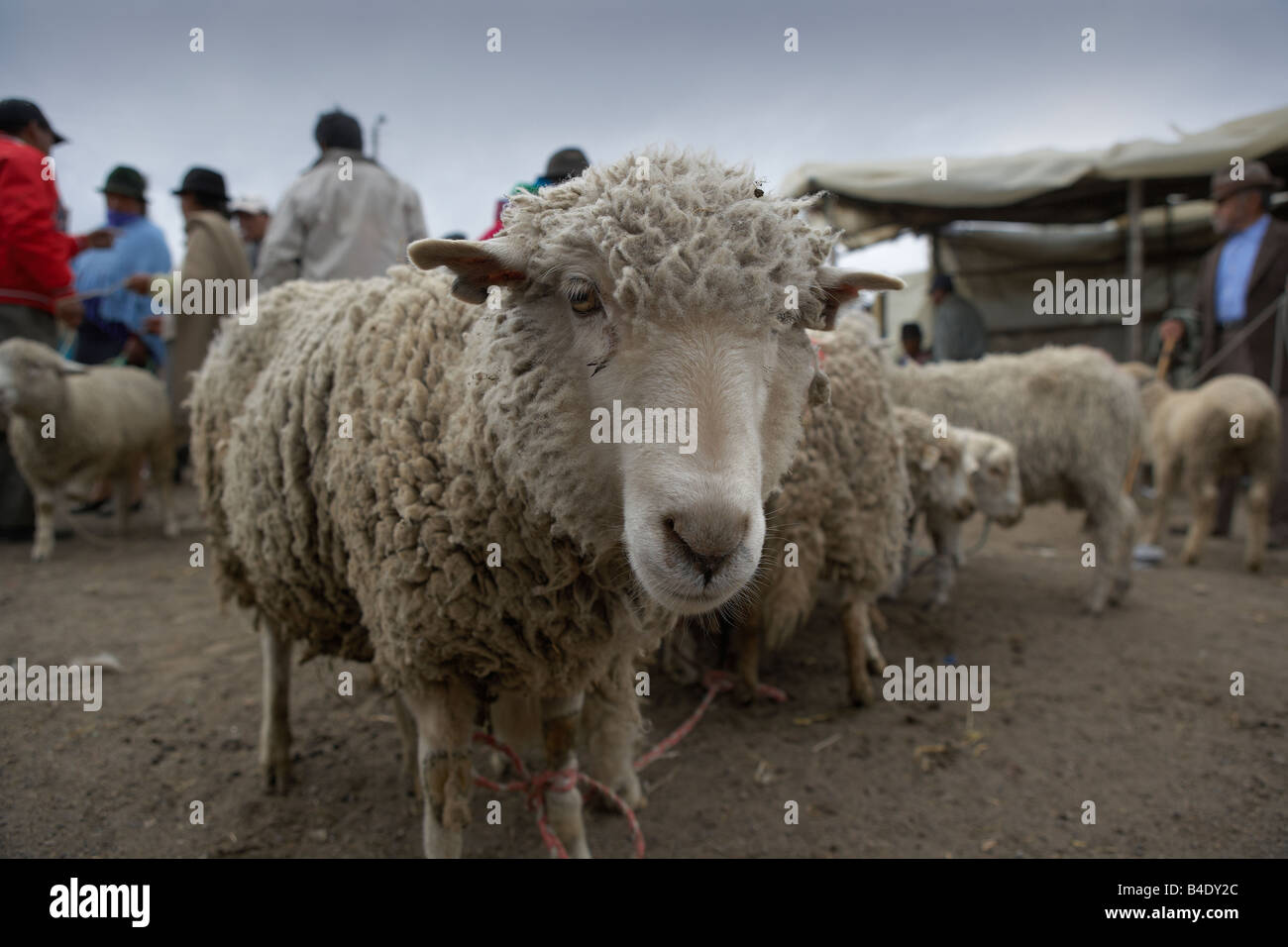 Sheep at Saquisili Market, Ecuador - Stock Image