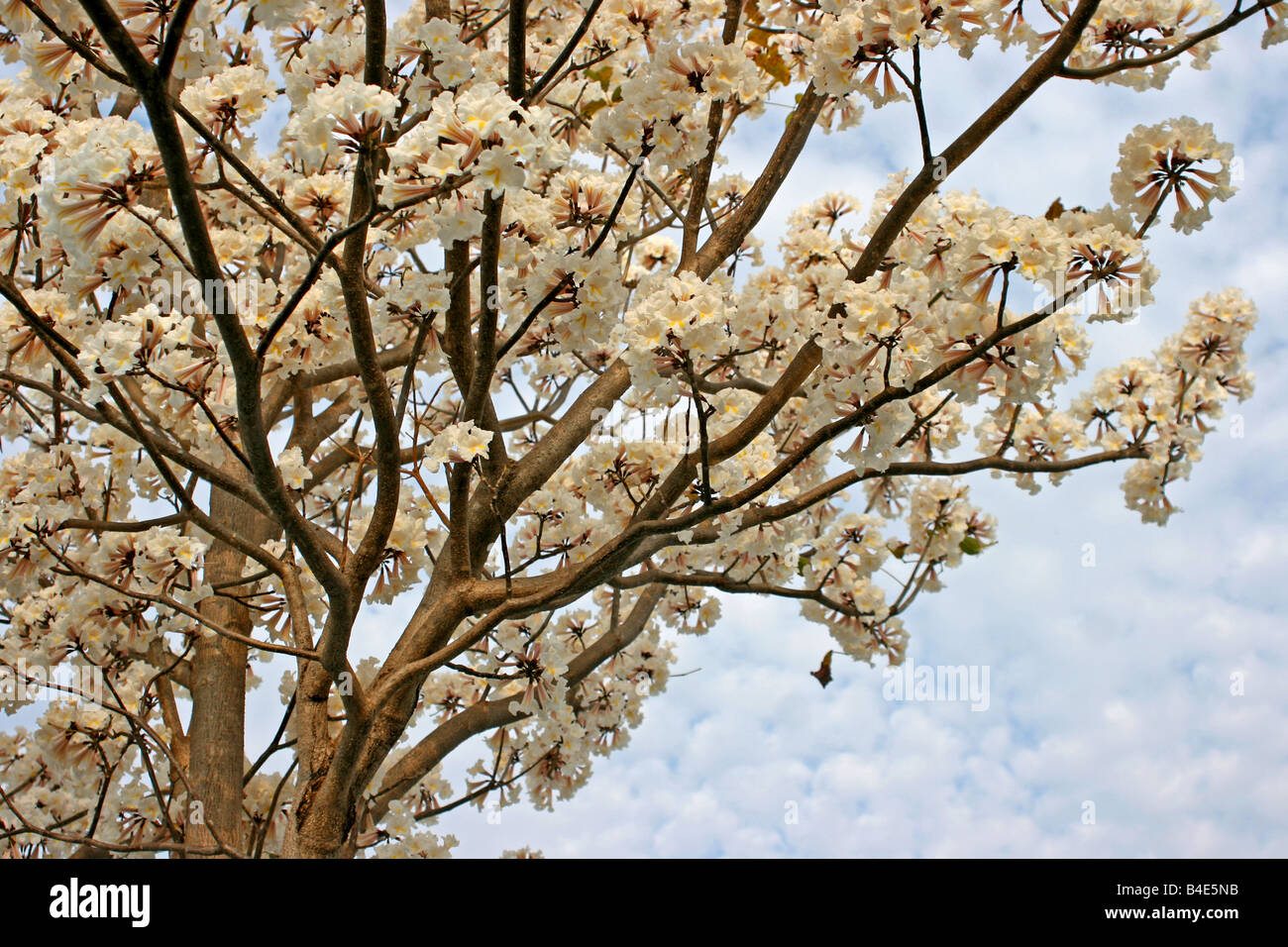White trumpet tree stock photos white trumpet tree stock images white trumpet tree tabebuia pallida in bloom stock image mightylinksfo