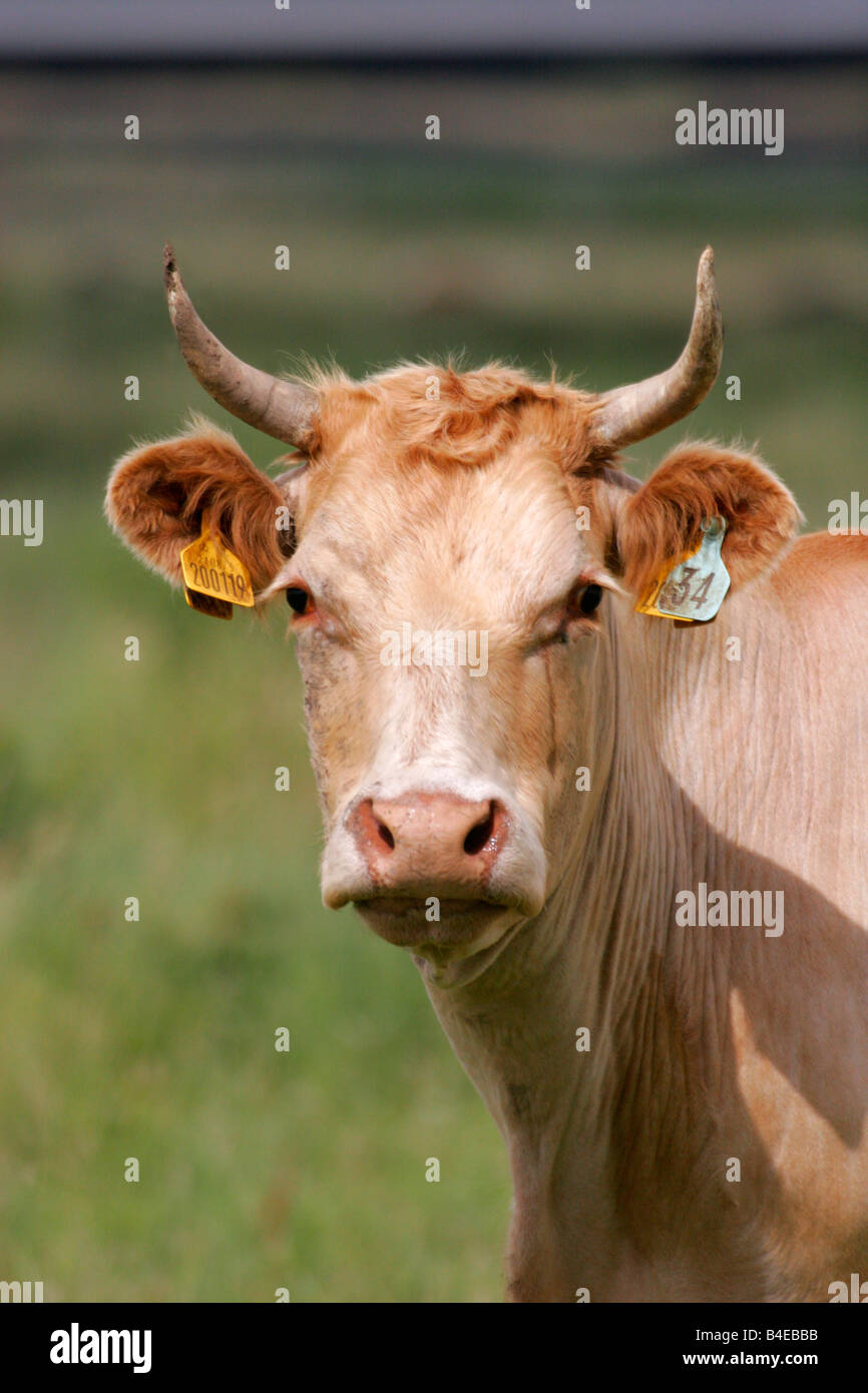 Cow portrait of single adult with ear tags Taken July Rainham Marshes Kent UK - Stock Image