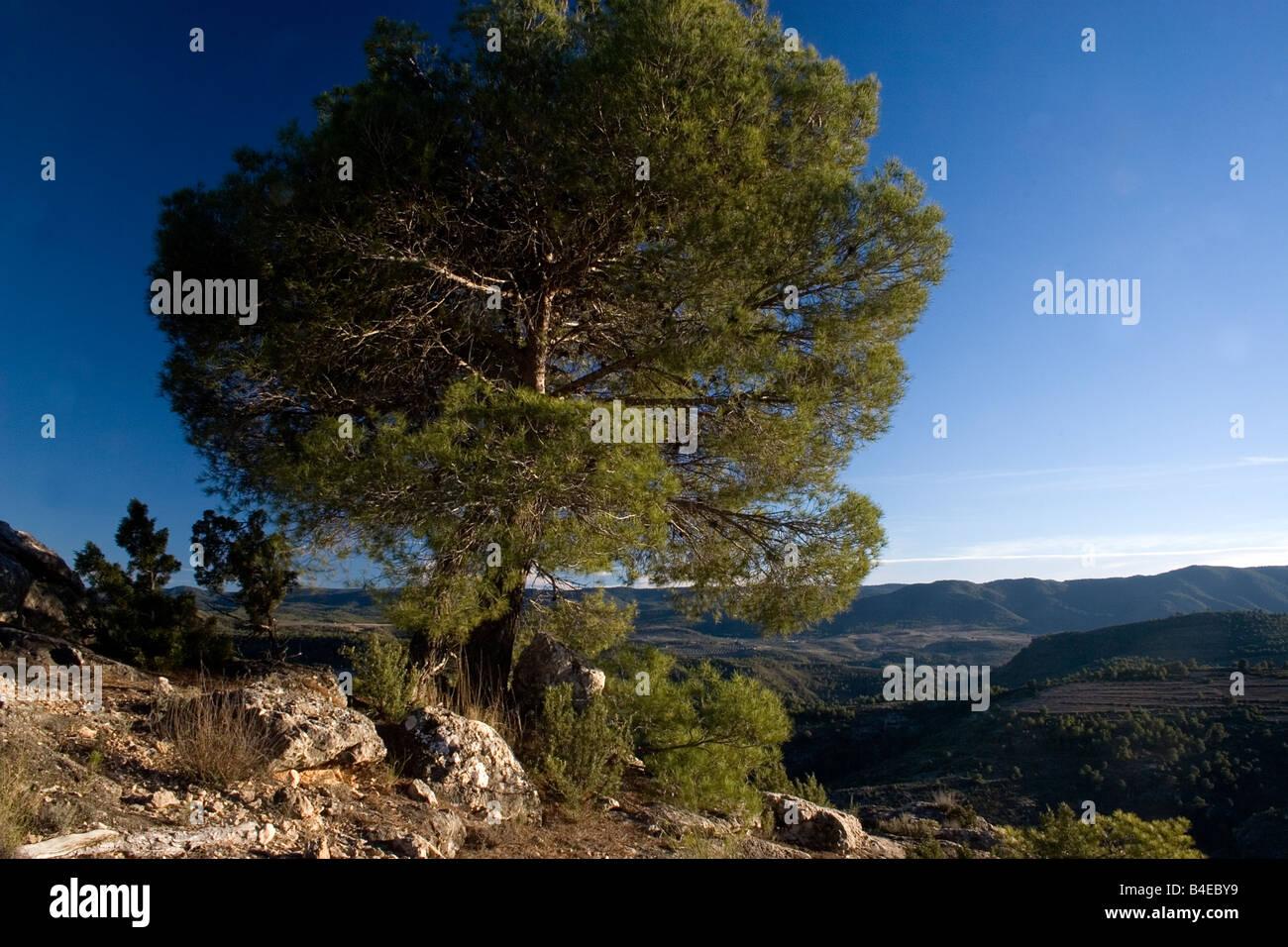 pina carasca pine tree in Sierra de Seguras Juan Quiles Castilla la Mancha Spain - Stock Image