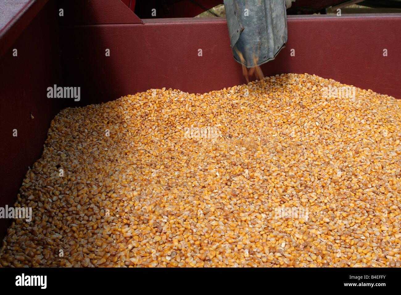 Shelled Corn Stock Photos & Shelled Corn Stock Images - Alamy
