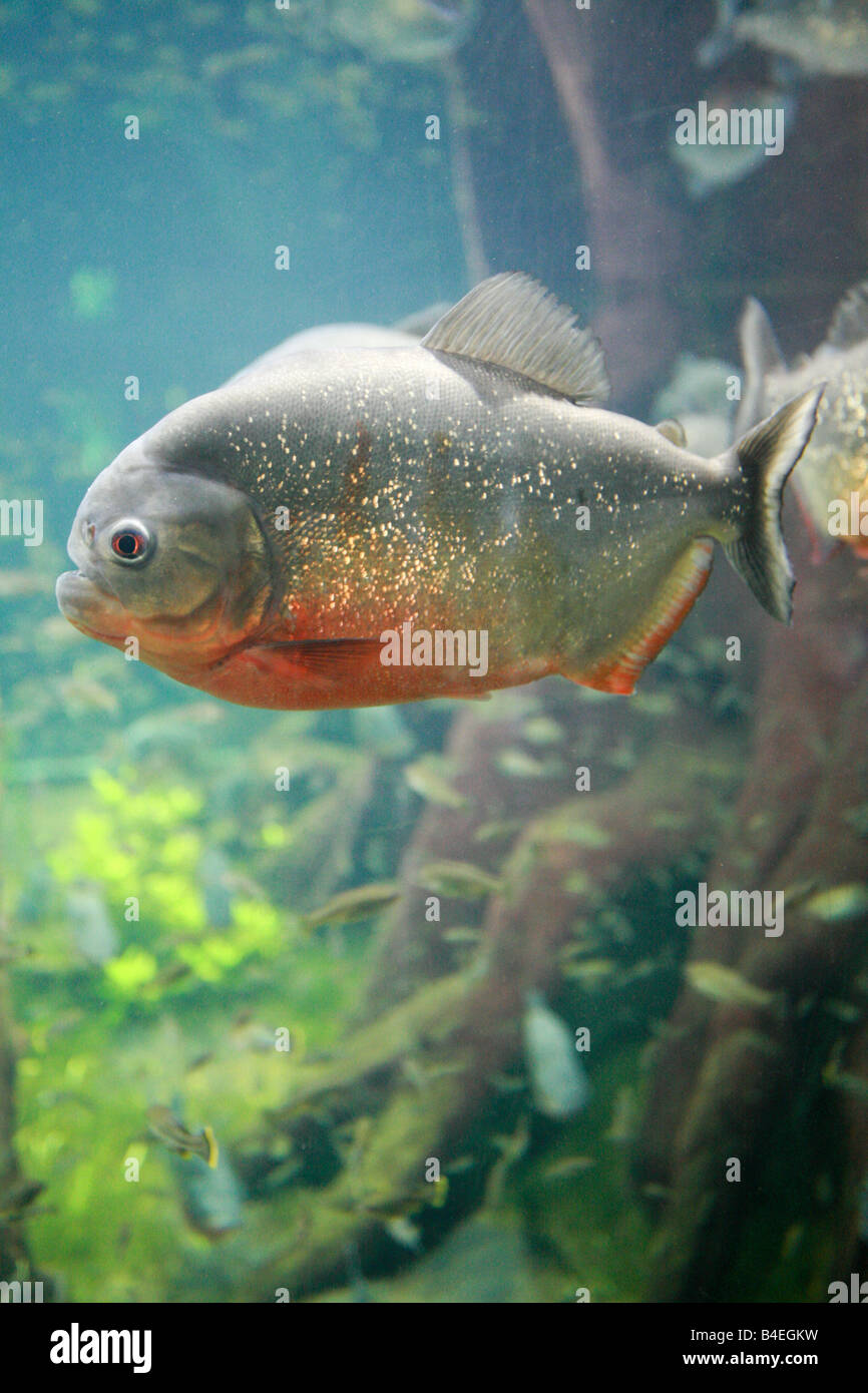 Red bellied Piranha fish swimming in giant glass tank at London Aquarium a major tourist top 10 landmark attraction - Stock Image
