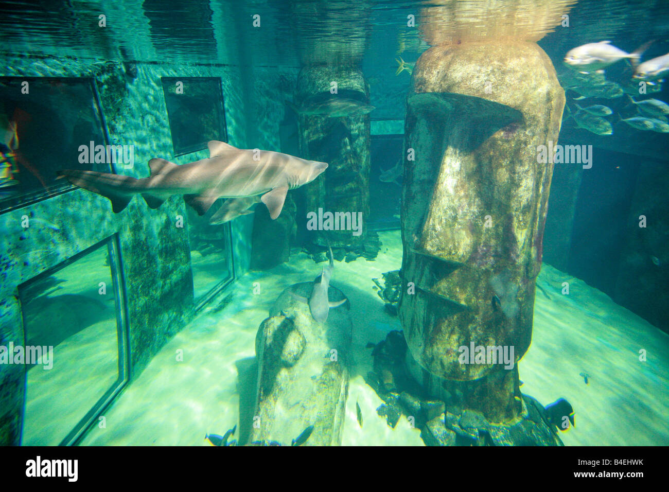 Sabre tooth tiger sharks swimming in giant glass viewing fish tank at London aquarium a major tourist landmark attraction - Stock Image