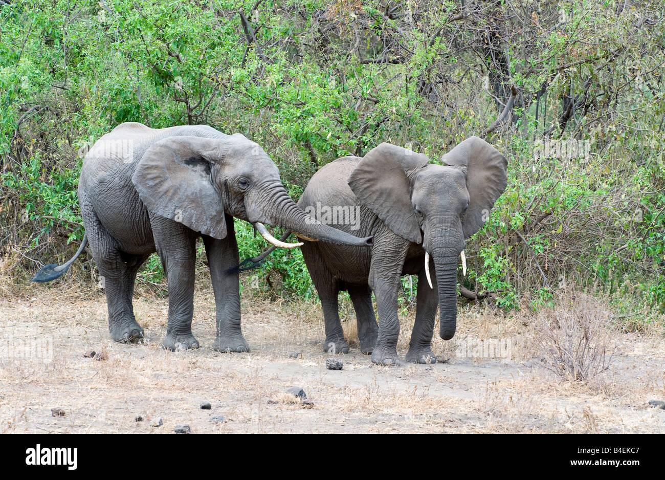 Tanzania Lake Manyara National Park elephants Loxodonta africana - Stock Image