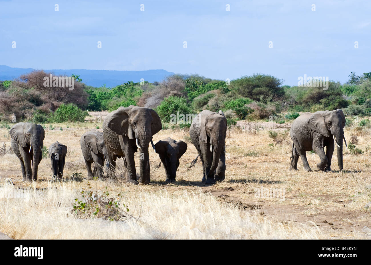 Tanzania Lake Manyara National Park elephants Loxodonta africana - Stock Image