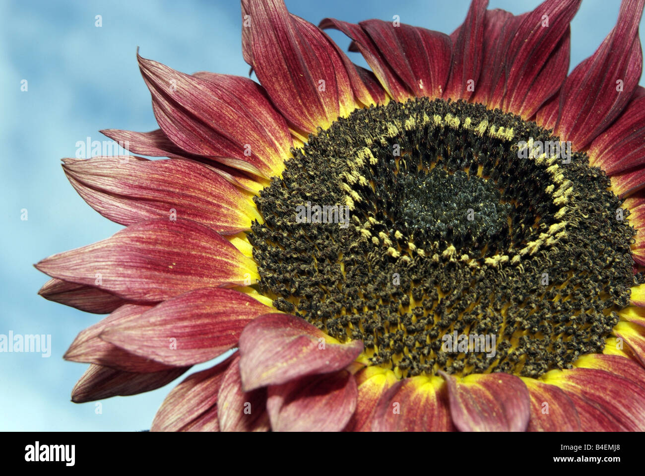 Red Sunflower - Stock Image