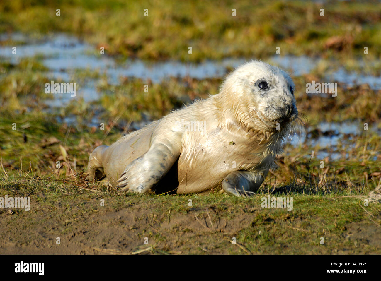 Grey Seal (Halichoerus grypus) Grey Seal pup on the sand banks at Donna Nook Stock Photo