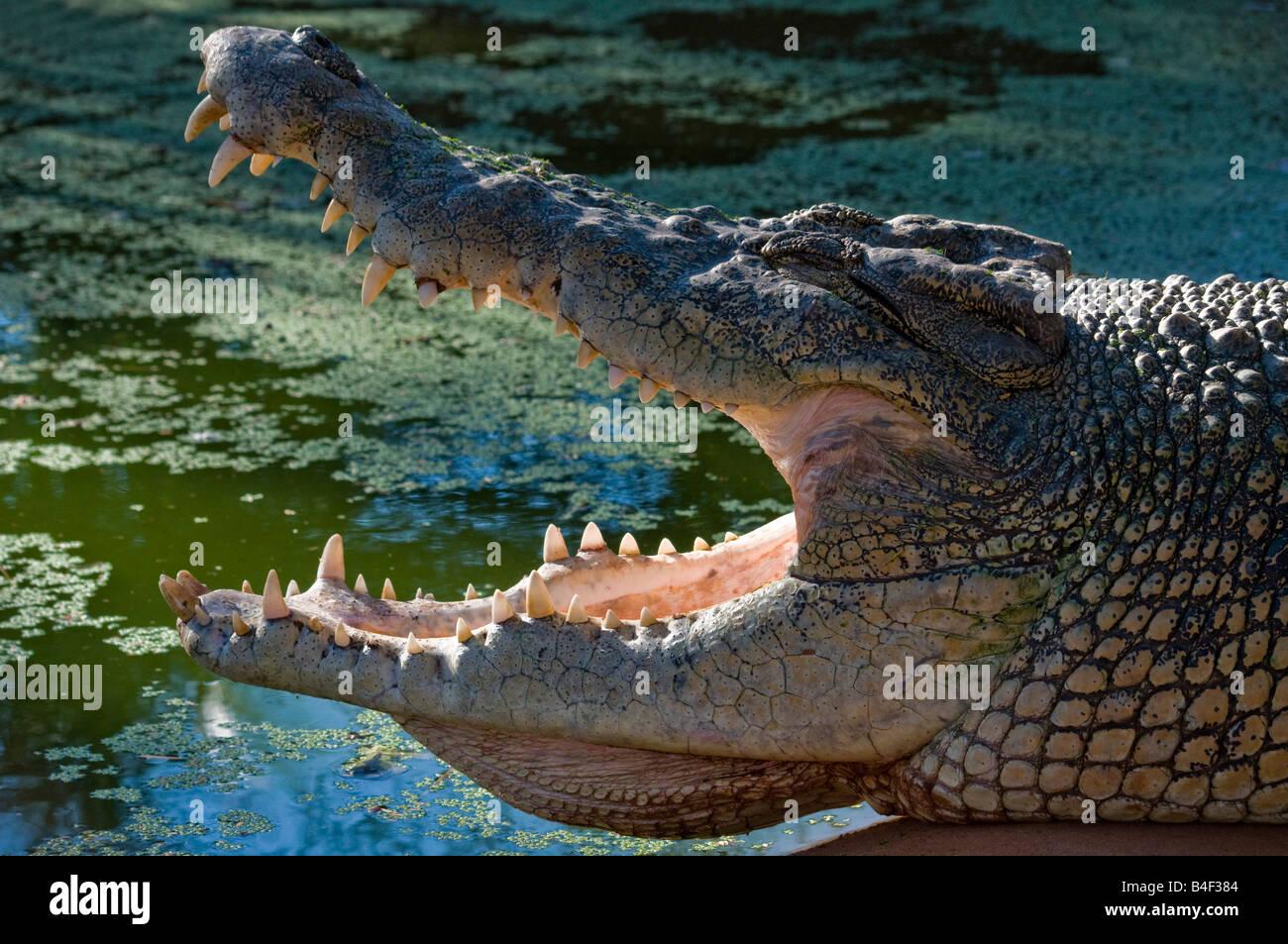 Gaping jaws of the Australian Estuarine salt water crocodile Crocodylus porosus - Stock Image