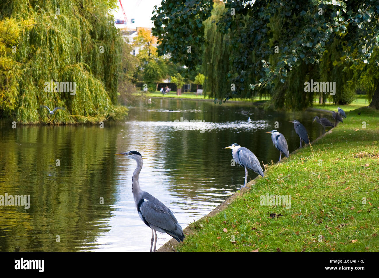 Gray herons by lake Regents Park London United Kingdom - Stock Image