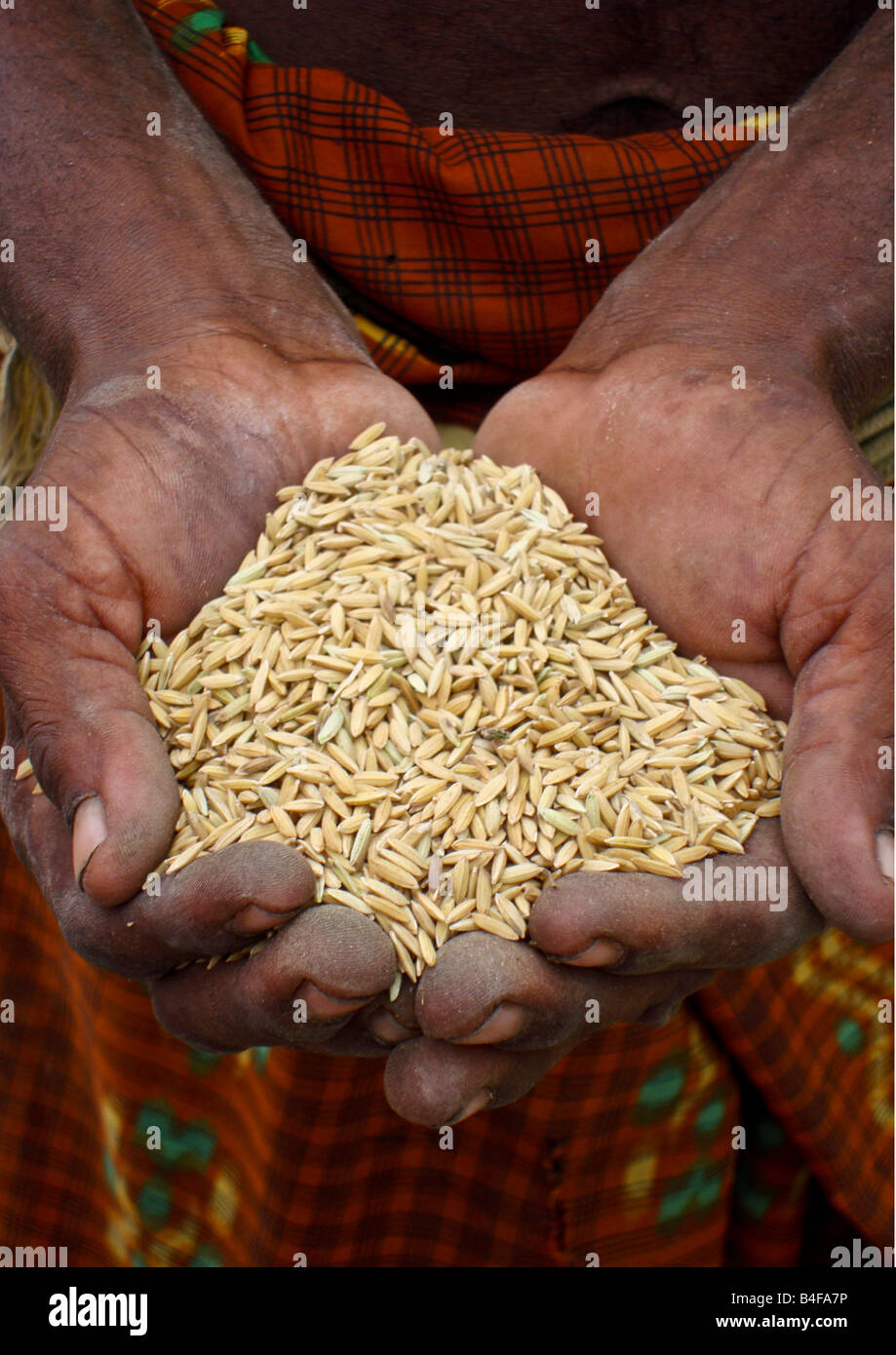 Asian man holding freshly harvested rice with husks in hands ready to be poured for processing and milling at the - Stock Image