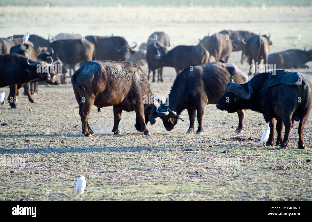 Tanzania Lake Manyara National Park a buffalos herd Syncerus caffer - Stock Image