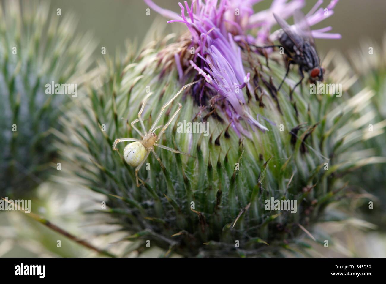 Spider (Enoplognatha ovata) hunts flesh fly (Sarcophaga carnaria) - Stock Image