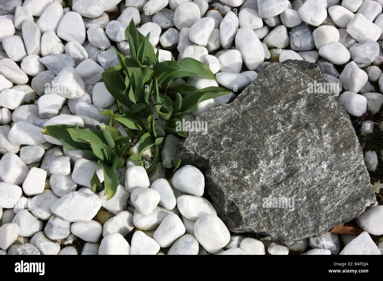 Pebble Stones White And A Big Black Rock Green Plant Rock Garden