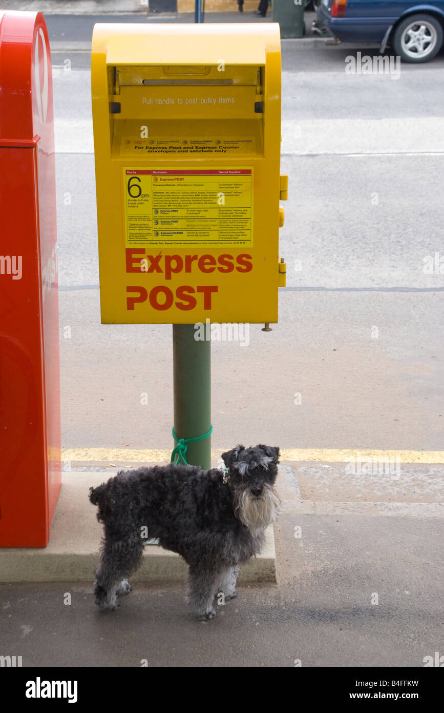 Cute dog tied to an express post mail box in Hobart Tasmania - Stock Image