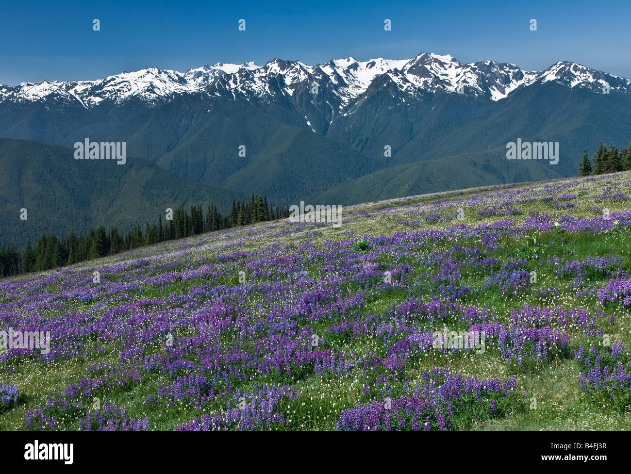 Alpine Lupine blooming at Hurricane Ridge in Olympic National Park Stock Photo